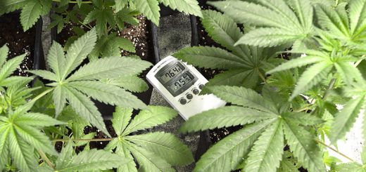 How to Get the Best Temperature for Indoor Marijuana Plants