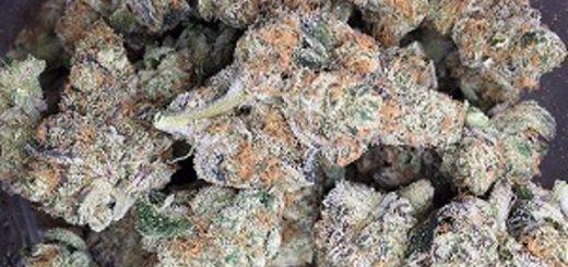 Blue Cookies strain Archives - Marijuana plant info