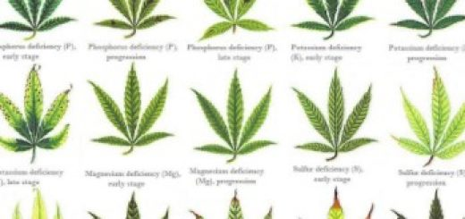 Identifying Cannabis Plants Problems