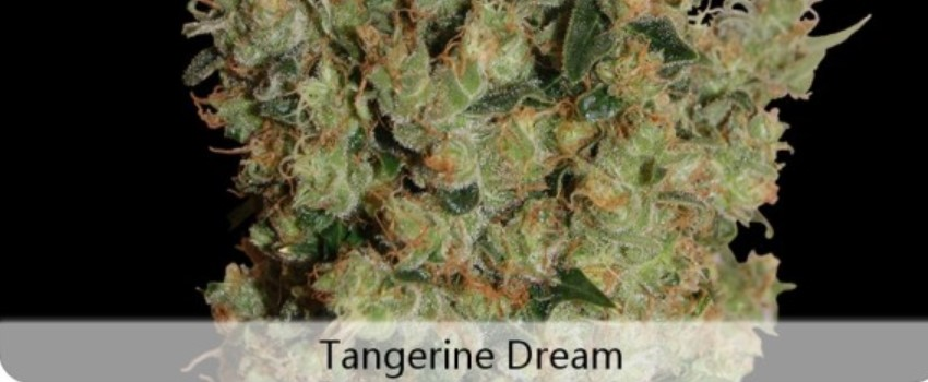 Tangerine Dream Medical Use and Benefits