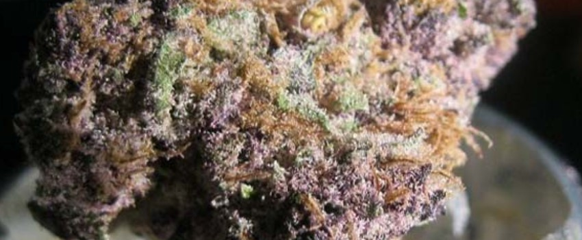 Purple Urkle Growing