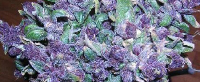 Purple Haze Growing