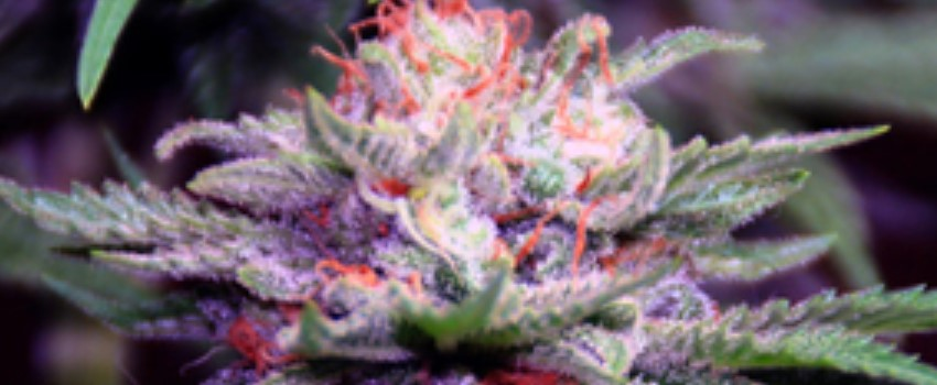 Purple Haze Medical Use and Benefits