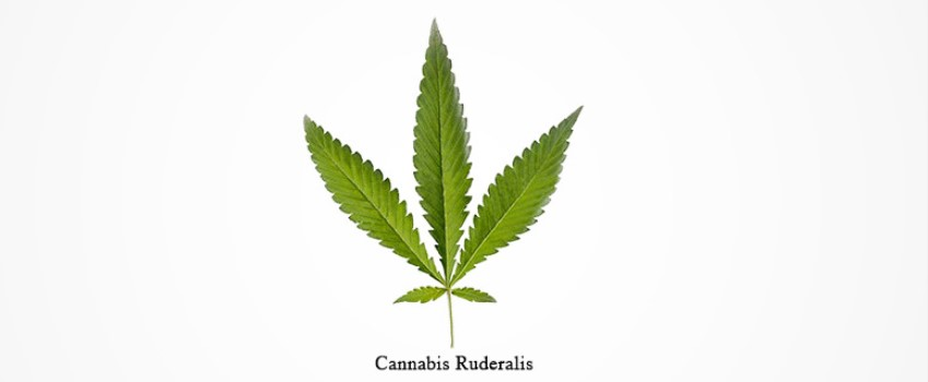 The Value of Cannabis Ruderalis