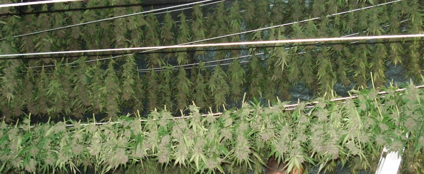From Drying to Curing Cannabis