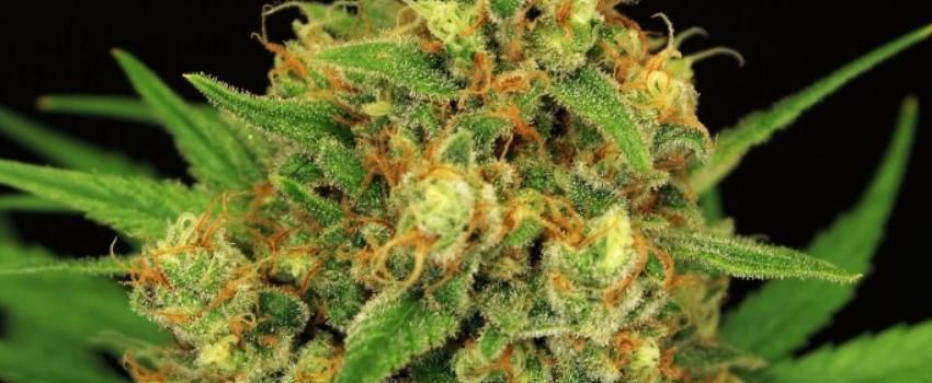 Tangerine Kush Medical Use and Benefits