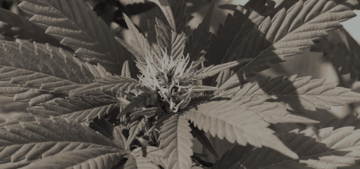 How Much Weed Can One Marijuana Plant Yield?