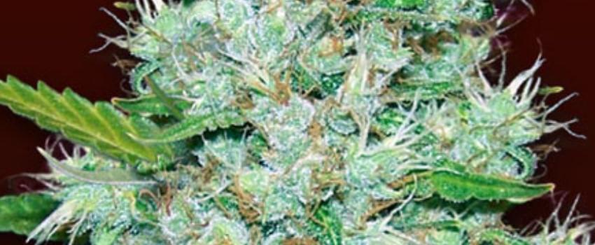 Orange Kush Medical Use and Benefits