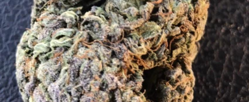 Purple Dream Growing