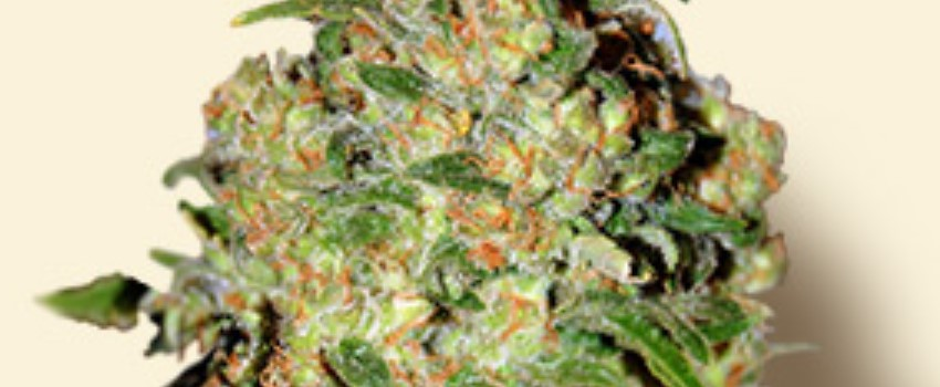 Critical Plus Odor and Flavors