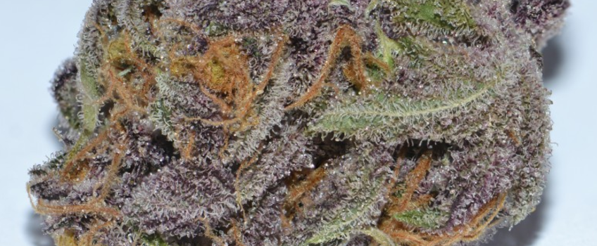 Purple Dragon Medical Use and Benefits