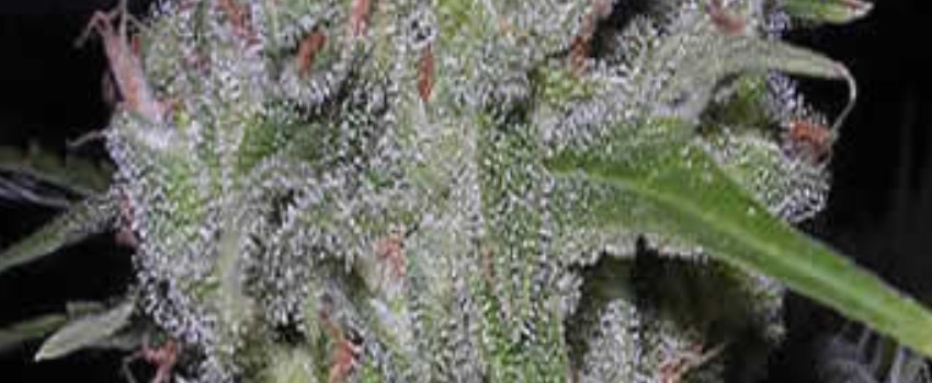 Bubbleberry Medical Use and Benefits