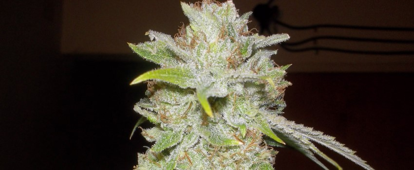 Chocolope Kush Medical Use and Benefits