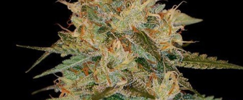 Chocolope Kush Odor and Flavors