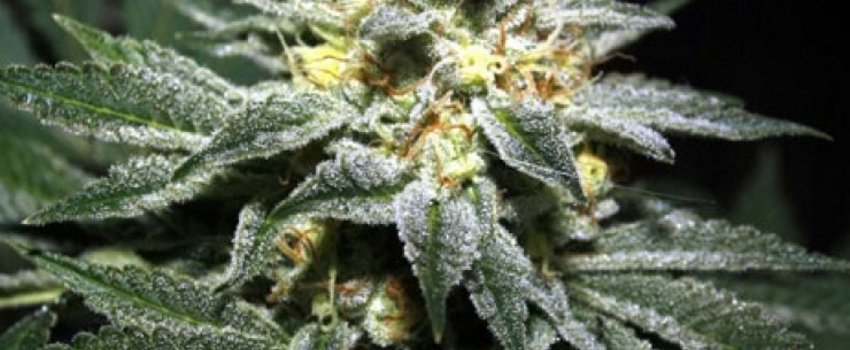 Alien Kush Medical Use and Benefits