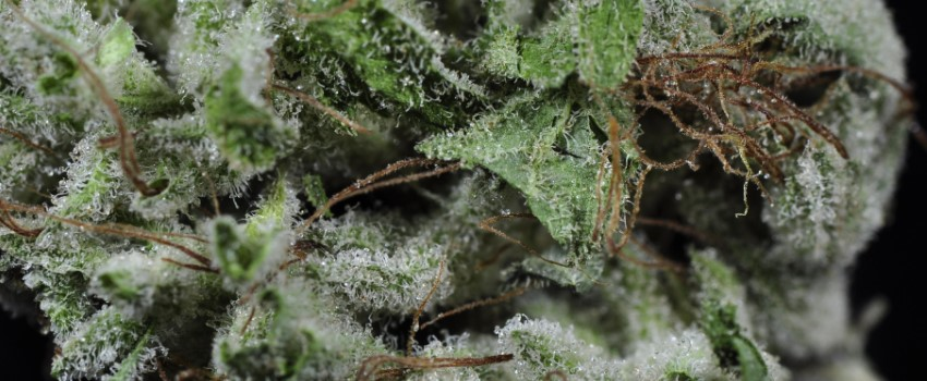 Afghanica Medical Use and Benefits