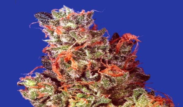 Caramelicious Strain Medical