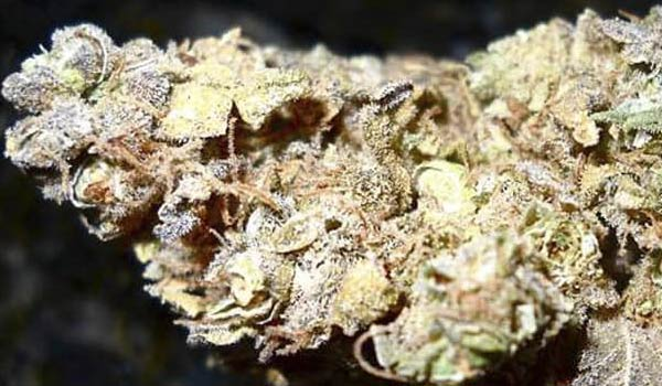 Hollands Hope Strain Medical