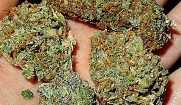 White Caramel Cookie Strain Effects